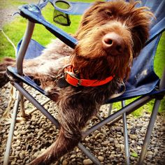 German wirehaired pointer...tough hunting dog, right?