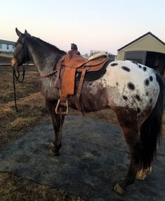 Ringo the appaloosa