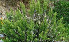 Nove ervas e plantas que servem como remédios naturais e que podem ser cultivadas em casa