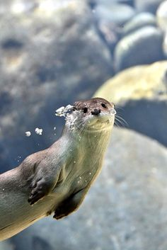 Otter notices human as he swims by - May 29, 2017