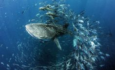 Picture of a young whale shark was swimming in the Gulf of Thailand
