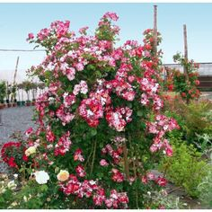 Roseira Hanabi - PlantarFlores.com.br