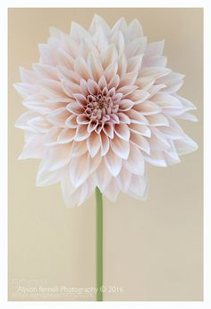 Cafe au lait Dahlia by AlysonFennellPhotography #nature #photooftheday #amazing #picoftheday