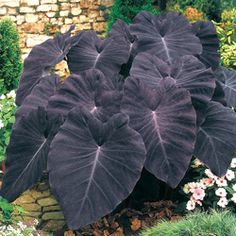 "Elephant ears ""Black Magic""  to hide the AC compressor."