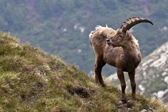The Pyrenean ibex was declared extinct in 2000, but scientists had harvested samples from Celia, the last Pyrenean Ibex, shortly before her death, which were frozen in liquid nitrogen. Using DNA from these samples, scientists were able to clone a female Pyrenean Ibex in 2009. However, the freshly cloned ibex died shortly after birth, due to lung defects. This makes the Pyrenean ibex one of the very few animals to be declared extinct TWICE.