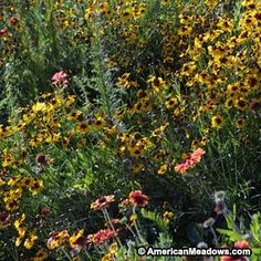 Native West Wildflower Seed Mix - Wildflower Seeds from American Meadows