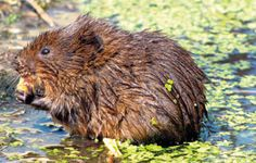 The water vole is the UK's fastest declining mammal with a 90% loss between 1960 and 1990, largely due to being hunted by American mink and habitat loss.