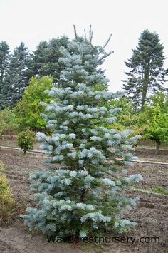 Silver white fir (Abies concolor 'Candicans')