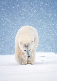 polar bear in a snowstorm, Arctic National Wildlife Refuge, USA. By Ian Plant. Bear Photos, Bear Pictures, Animal Pictures, Bear Images, Cute Bear, Cute Polar Bear, Polar Bears, Wildlife Photography, Animal Photography