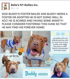 8/30/17  BUDDY'S FOSTER BAILED AND HE NEEDS A FOSTER TO STEP UP FOR HIM! PLEASE HELP BELLA'S NY BULLIES OUT! /ij