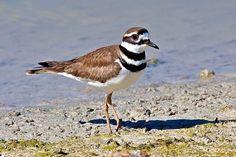 killdeer - One of my favorite birds!  Rio Grande Valley, TX