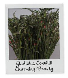 Gladiolus Convillii Charming Beauty - Holex Insights newsletter week 13