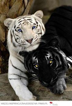 Znalezione obrazy dla zapytania tygrys biały i pomarańczowy