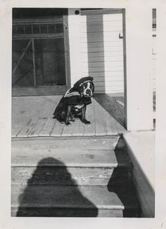 In this vintage photo, a Boston Terrier dog is dressed up as a sailor for Halloween.