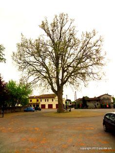 Un albero che dovrebbe essere trattato con grande rispetto per la sua veneranda età (che nessuno conosce). Tutti in paese a Codognè si sentono legati da questo platano. Io l'ho sempre considerato come un vecchio saggio amico