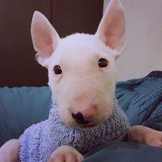 @rufusmylove welcome to instagram! #bullterrierpics #bullterrier #ebt #bullie #bullterrierinstagram #bullterrierlove #bullterrierstyle #englishbullterrier #dogs #bullterriersofinstagram #bullterriers #dog #bullterrierlife #bullterrierworld #puppy #bullterrierpuppy #englishbull #perro #englishbullterrierpuppy #ebtpuppy #ilovebullterriers #ilovedogs #doglife #dogstagram #dogsofinstagram #doglovers