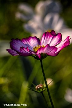 ~~Flower at sunset... • Cosmos by Christian  Delvaux~~