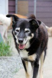Shane is an adoptable German Shepherd Dog Dog in Mission, BC. Shane currently resides at S.A.I.N.T.S, a sanctuary for senior and special needs animals. Shane is deaf but he is the vesy best of dogs: s...