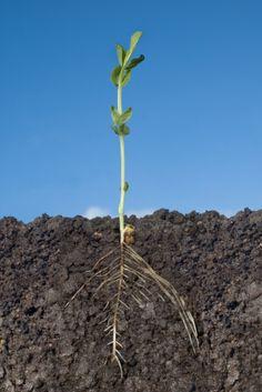 Frø som spirer. Garden Tools, Planters, Yard Tools, Plant, Window Boxes, Pot Holders, Flower Planters, Pots