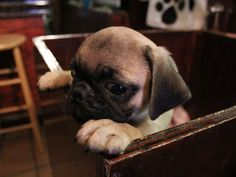 I love puggy puppies they are so cute and sweet.