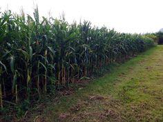 Hfb corn harvest
