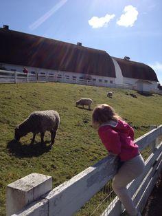 Sheep, Kelsey Creek, Farm, Park, Bellevue, Seattle, Petting Zoo, Petting Farm, Family, Picnic, FREE, activities, preschool, kids, child, children, animals,