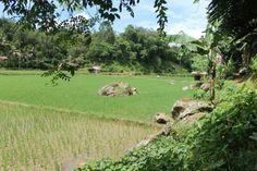 rice in toraja