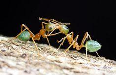 Green Tree Ants    www.livescience.com/18382-dazzling-droplets-photos-reveal-mini-worlds.html/