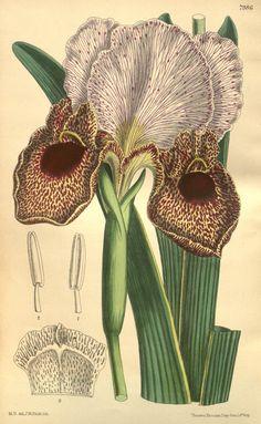 Curtis's botanical magazine.