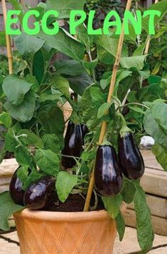 Eggplant is one of the most important ingredients of Mediterranean cuisine. We have all loved it in famous summer recipes. Originally from Asia, eggplant is a high-nutrition vegetable with lots of antioxidants. Fall Vegetables To Plant, Container Gardening Vegetables, Planting Vegetables, Growing Vegetables, Growing Plants, Purple Vegetables, Eggplant Plant, Growing Eggplant, Eggplant Purple