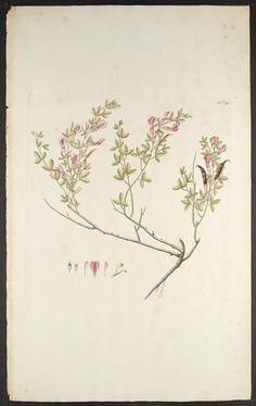 Florae Austriacae, sive, Plantarum selectarum in Austriae archiducatu. Viennæ Austriæ :Leopoldi Joannis Kaliwoda,1773-78.. biodiversitylibrary.org/page/279066