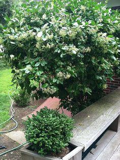 2011 flowering euonymus + green velvet boxwood