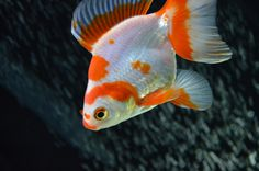 my broadtail ryukin, Sasha. You can learn more about goldfish at this site.