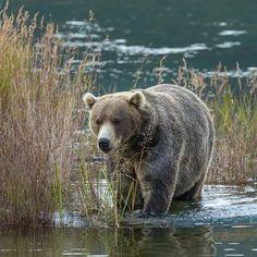 Katmai bear Backpack (#89) in 2014.