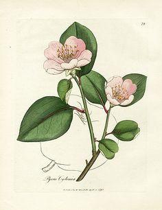 Dog Rose botanical plate - Woodville Medical (1790)