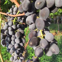BIO BLOG  Jegges Biotrauben aus Kaisten  Genau von hier kommen unsere Biotrauben! Die Hersausforderungen im Anbau und eine Traubenkur-Anleitung. Fruit, Blog, Tutorials