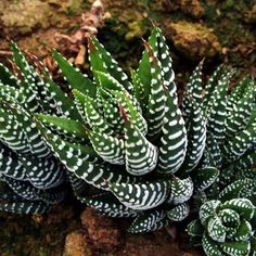 Zebra Cactus | Known for being easy to grow and super durable, it needs very little attention and minimal watering.