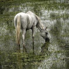 Cheval de Camargue | Wild horse, Camargue, France
