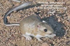 Chisel-toothed Kangaroo Rat | ... chisel toothed kangaroo rat side view of released adult on ground 06