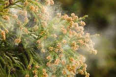 花粉症の方は、絶対に見ないでください。 見るだけで、鼻水が増えそう!! 春は、杉花粉で、忍耐するのも辛い季節ですね。