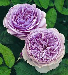 "lavender ""heirloom roses"" by David Austin"