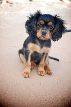 Cadillac MI Ruby Cavalier Puppies   Michigan Cavalier Puppy Breeder   MI Cavalier King Charles Spaniel Breeder