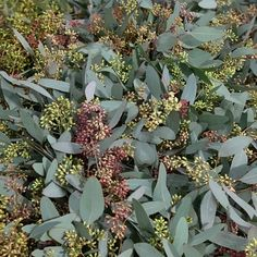 Our seeded Eucalyptus is loaded with seeds. Just a great California green to use in floral arrangements. Order DIY wedding flowers and foliages from Fabulous Florals! Diy Wedding Flowers, Diy Flowers, Floral Arrangements, Flower Arrangement, Seeded Eucalyptus, Lush, Greenery, Floral Design, Seeds