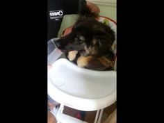 ▶ Coco post Op - YouTube. This video makes me smile every time I see it :-) Coco the #GSD is recovering after surgery for persistent right aortic arch