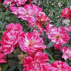 Пестрая элегантность роза Канди Ковер