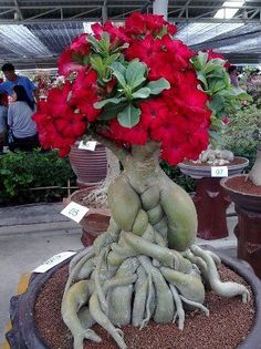 Desert Rose flowering houseplant