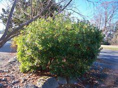 An attractive Arbutus unedo at a driveway entrance.