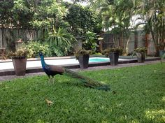 My pet #peacock #indian blue #garden #pool