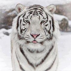 Siberian Tiger (Panthera tigris altaica) via Awesome World on fb Beautiful Cats, Animals Beautiful, Stunningly Beautiful, Beautiful Babies, Absolutely Stunning, Tiger Fotografie, Panthera Tigris Altaica, Animals And Pets, Cute Animals
