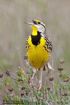 Eastern Meadowlark by Bill Morales List Of Birds, All Birds, Little Birds, Love Birds, Animals Images, Nature Animals, Pretty Birds, Beautiful Birds, Natural Life